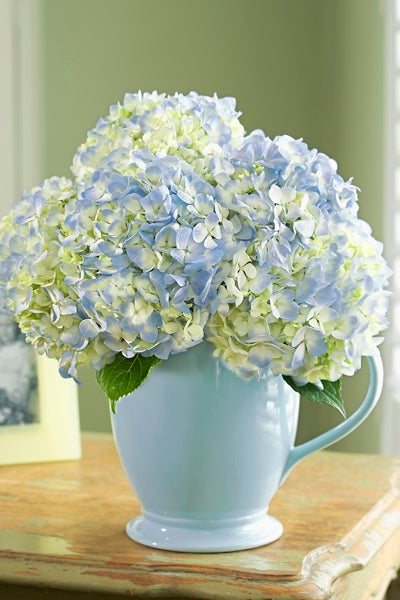 Light Blue and White Hydrangeas In a Light Blue Vase