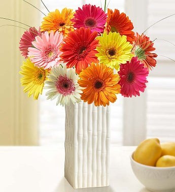 One Dozen Gerbera Daisies with Free White Bamboo Vase