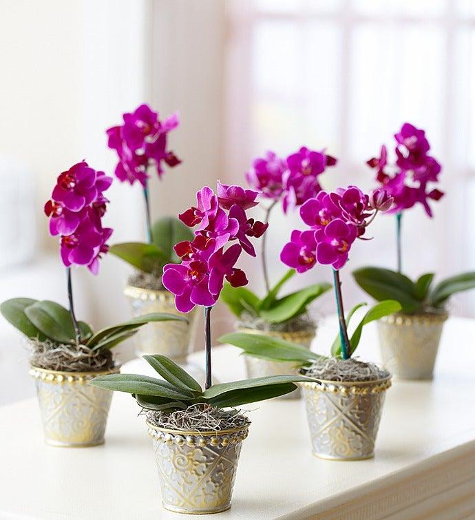 Mini Purple Phalaenopsis Orchid in Tin Set of Six