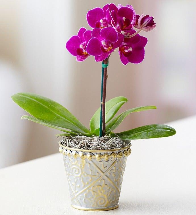 mini purple orchid in tin - Orchid