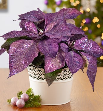 Purple Poinsettia