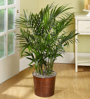 Cat Palm Floor Plant