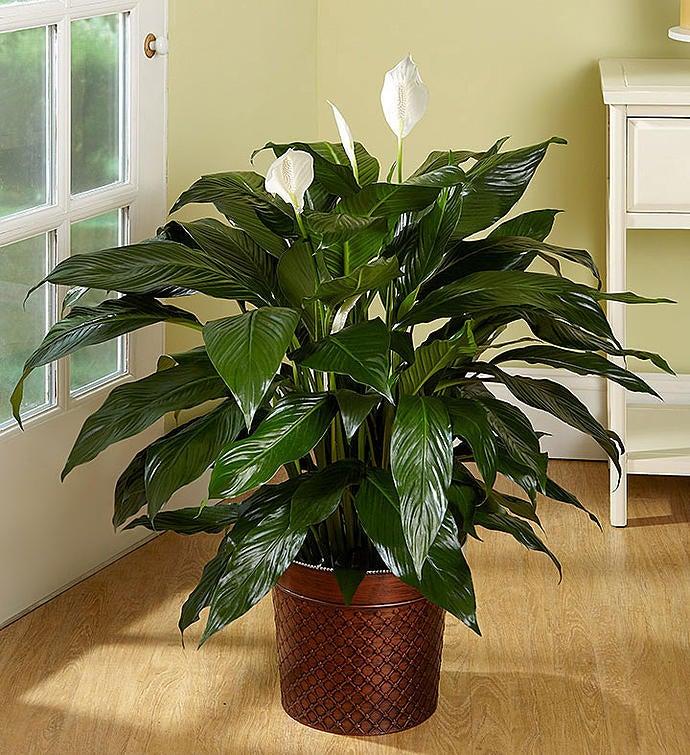 Flowers: Spathiphyllum Floor Plant- Flower Arrangements
