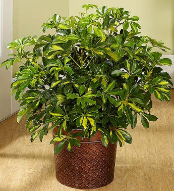 large house plants. potted trees. indoor tropical houseplant with, Natural flower