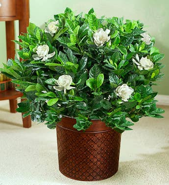 Gardenia Plants and Bushes | Gardenia Delivery | 1800Flowers