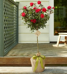 Rose Tree for Sympathy