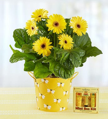 Happy Bee Gerbera Daisy Large with Kit
