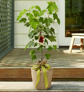 Japanese Red Maple Tree with Personalized Plaque