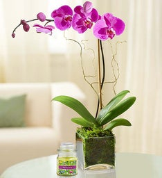 Elegant Orchid + Free Candle