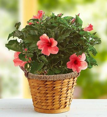 May - Tropical Pink Hibiscus Plant by Real Simple®