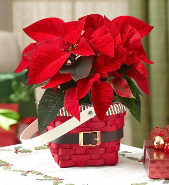 Santa's Greetings Poinsettia