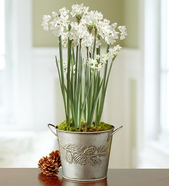 Fragrant Holiday Paperwhites Garden