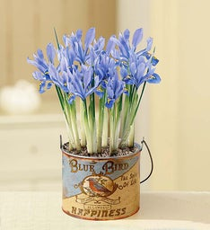 March - Blue Bird Iris
