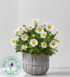 Real Simple® Montauk Daisy