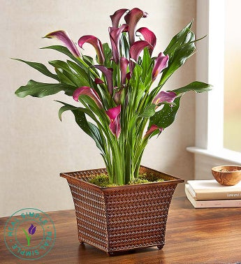 Fall Calla Lily by Real Simple®