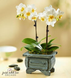 Asian Dance Orchid + Free Shipping