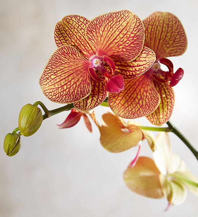Sunset Blooms Orchid