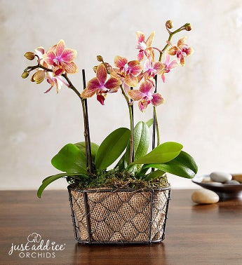 Sunset Garden Orchid