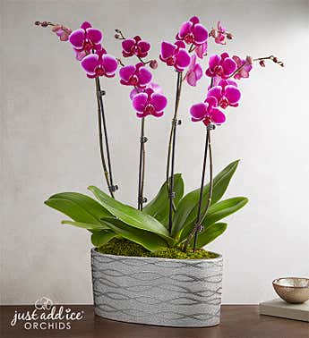 Violet Opulence Orchid