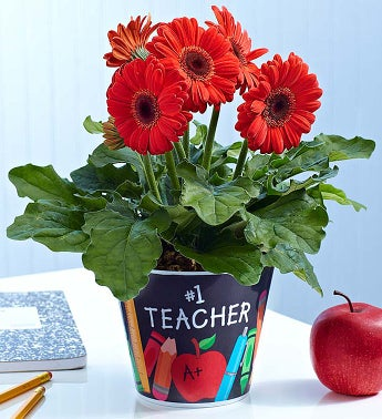 #1 Teacher Gerbera Daisy