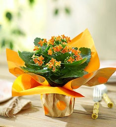 Bright Orange Kalanchoe Plant