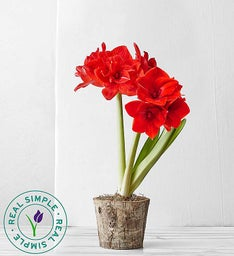 Real Simple® Holiday Amaryllis