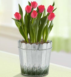 Spring Country Tulips + Free Gloves