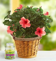 Tropical Pink Hibiscus Plant + Free Candle