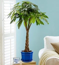 Money Tree Plant