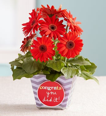Congrats You Did It Gerbera Daisy Gerbera Daisy