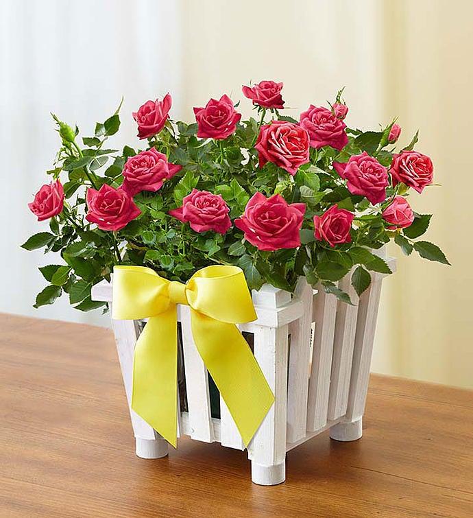Charming Rose Garden