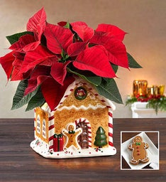 Gingerbread House Poinsettia