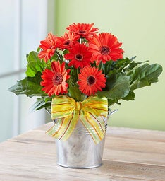 Cheerful Gerbera Daisy