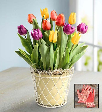 Colorful Tulip Bulb Garden + Free Gloves