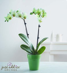 Graceful Green Orchid + Free Shipping