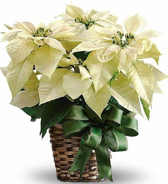 White Poinsettia