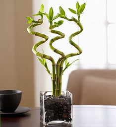 Curly Bamboo Plant