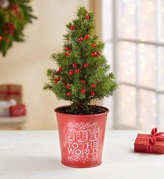 Joy to the World Mini Spruce Tree