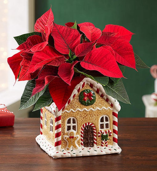 Gingerbread House Poinsettia Plant
