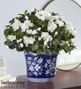 White Azalea for Southern Living Sympathy