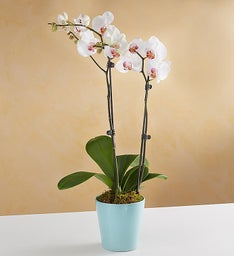 Sweet Blooms Orchid