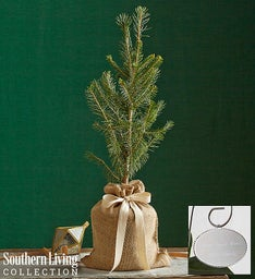 Colorado Blue Spruce by Southern Living®