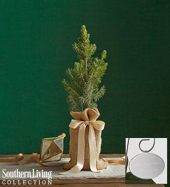 Colorado Blue Spruce Tree by Southern Living® Small with Plaque