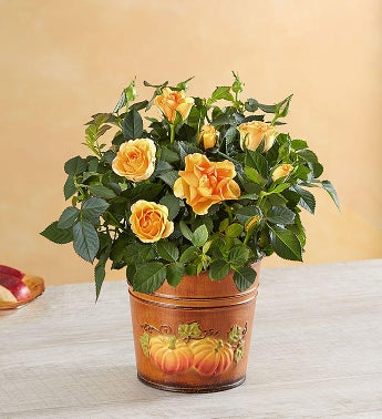 Fall Amber Rose Plant