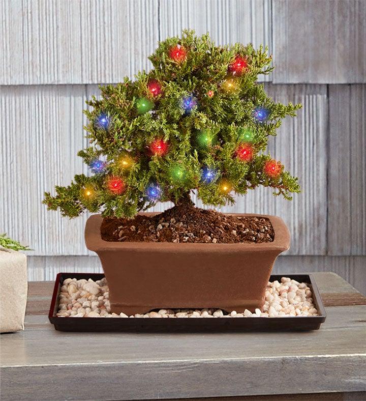 Merry Christmas Bonsai 1800flowers Com 157340