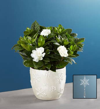 Winter White Elegant Gardenia Plant