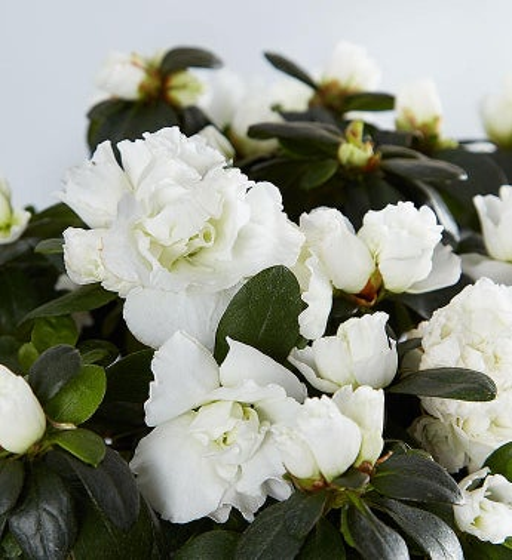 White azalea for southern living sympathy 1800flowers 157366altview2 mightylinksfo