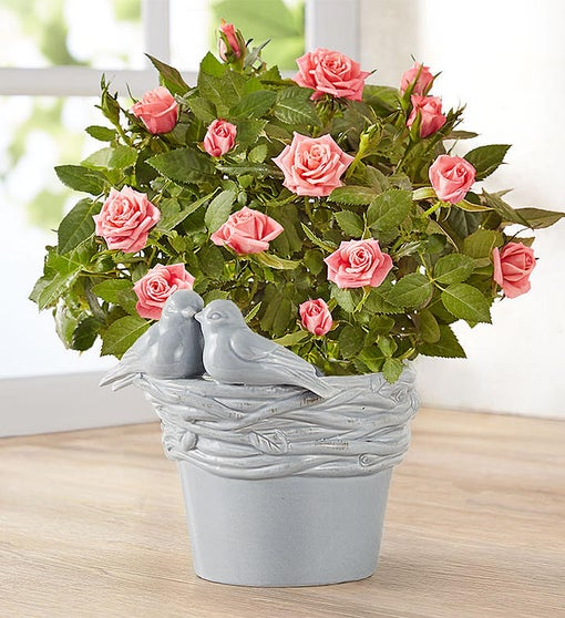 Love Birds Pink Rose Plant