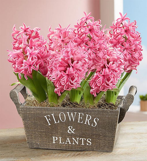 Heavenly Hyacinth