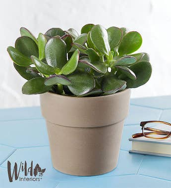 Large Jade Succulent by Wild Interiors